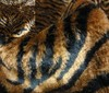 brown ~ black Zebra Fur Cuddly Fur - 12mm - 800g fabric
